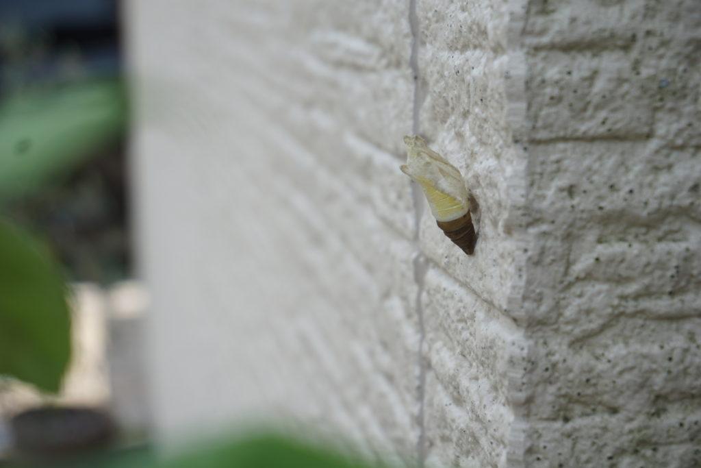 アゲハ蝶のさなぎ