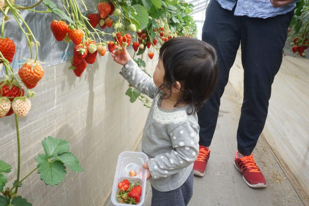 津久井浜観光農園で子供とイチゴ狩りを楽しむポイント