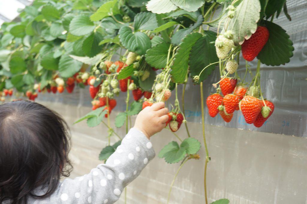 子供も採りやすいイチゴ狩り